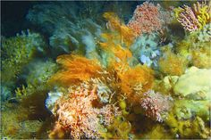 Credit: Alberto Lindner/NOAA Several species of deep-sea corals form an underwater garden 165 m ft) below the ocean's surface off the coast of Alaska's Aleutian Islands. Beautiful Ocean, Amazing Nature, Nature Climate Change, Coral Garden, Sainte Lucie, Marine Conservation, Underwater World, Deep Sea, Deep Blue