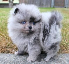 Blue Merle Pom! Merle's are so unique and beautiful, just like my bear <3