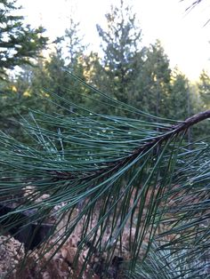 droplets on pine branches