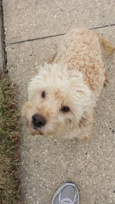 Meet Spot, a Petfinder adoptable Cockapoo Dog | New York, NY | Hi My name is Spot and i am an adorable 7 year old male Cockapoo weighing 17 poundsMy owner has to...