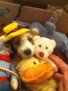 Can you find Daisy in her box of toys? Jack Russell puppy...