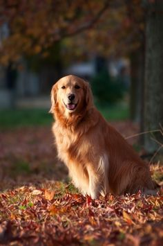 Golden Retrievers - via: followthewestwind - Imgend