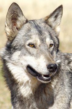 Canadian Wolf by www.outdoorphotos.co.za
