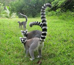 Ring-tailed Lemur  - 10 animals to see in the wild before you die #CheapflightsGG