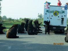 Bear World in Idaho; bears at feeding time...  cant be in idaho w/o stopping by!
