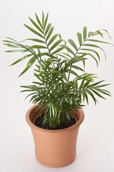 The parlor palm is the quintessential houseplant the proof is right in the name. Growing a parlor palm tree indoors is ideal because it grows very slowly and thrives in low light and cramped space. Learn how to care for a parlor palm plant here.