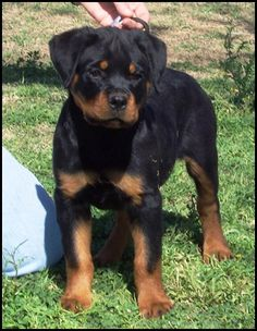 Rottweiler Puppy. He's gorgeous and reminds me of my sisters dog Buster when he was a pup