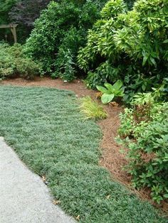 I'm seriously thinking of planting dwarf mondo grass in my entire yard. It has l… I'm seriously thinking of planting dwarf mondo grass in my entire yard. It has low water consumption, stays green year round, any you only have to mow once a year! Mondo Grass, Ground Cover Plants, Xeriscape, Lawn, Plants, Lawn Alternatives, Lawn And Garden, Outdoor Gardens, Dwarf Mondo Grass