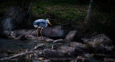 #heron #fishing #birds #river Heron, Photo S, Fishing, Birds, River, Art Prints, Art Impressions, Herons, Bird