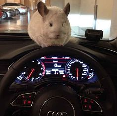Whether it be in her owner's car...   This Is The Most Important Chinchilla On Instagram Right Now