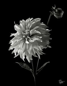 Dahlia and Bud in Black and White