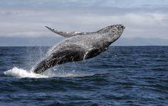 Segundo o Instituto Chico Mendes de Conservação da Biodiversidade (ICMBio), mais de 90% das baleias-jubarte (Megaptera novaeangliae) que chegam ao litoral brasileiro escolhem o Parque Nacional Marinho dos Abrolhos para a temporada de acasalamento - Foto: iStockphoto/Thinkstock