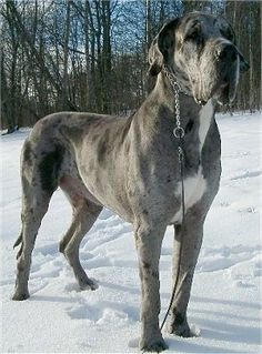 Great Dane (with natural ears). I have a great dane, best dogs EVER! Great Dane Funny, Great Dane Rescue, Great Dane Mix, Great Dane Dogs, Blue Merle Great Dane, Merle Great Danes, Blue Great Danes, Blue Harlequin Great Dane, Great Dane Mastiff