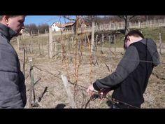 Nyegle kamaszgyerek szőlőmetszést tanul - YouTube