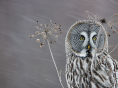 National Geographic Observer - Beautiful owl!