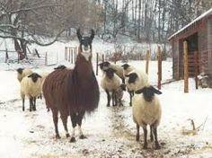 Image result for llama guarding sheep Alpacas, Sheep, Horses, Activities, Animals, Image, Animaux, Horse, Animal