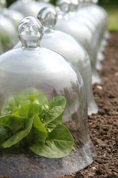 Early American Gardens: Glass Bell Jars & Cloches in Early America❤️