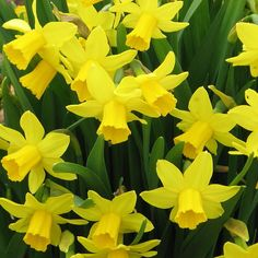 Narcissus Daffodil Tete a Tete - Tips for using spring bulbs to add color to your garden