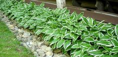 Lined hostas ... I can split some and line them in front of the house.