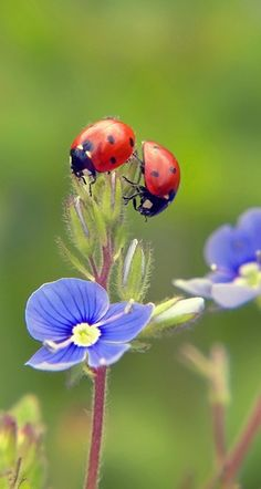 2 ladybugs on blue flower