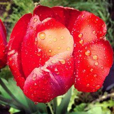 I loves tulips!