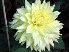 Lime Color Dahlia, Light yellow flowers, Dahlia flowers, Dahlias, Dahlia Wallpaper, Dahlia Varieties, Dahlia colors, Garden flowers, Decorative Dahlias