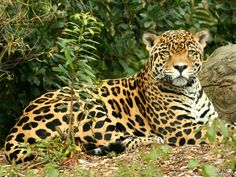 Both Jaguar and Leopard are from the same Felidae Family, but they are from different species. Jaguar is from Panthera onca species, whereas leopard is from Panthera pardus species. Endangered Rainforest Animals, Rainforest Jaguar, Ecuador Animals, Rainforest Creatures, Amazon Rainforest Animals, African Rainforest, Rainforest Birds, Lynx, Amazon River Animals