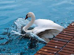 Lakeland, FL Swan