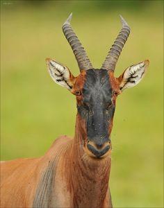 """Topi Antilope"" by Elmar Weiss"