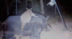 14 trail cam animals funny when humans arent around The strangest things show up on the trail cam (20 Photos)