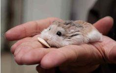 little dwarf hamster...want