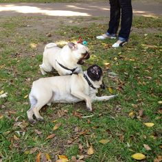 When pugs attack.