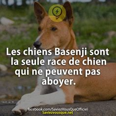 Les chiens Basenji sont la seule race de chien qui ne peuvent pas aboyer. | Saviez Vous Que? The More You Know, Good To Know, Did You Know, Animals And Pets, Funny Animals, Cute Animals, Weird Facts, Fun Facts, Science Facts