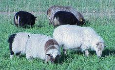 intensive grazing