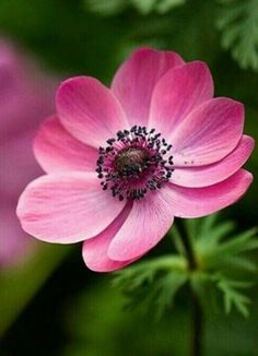 beautiful flowers around the world Anemone Flower, My Flower, Flower Art, Cactus Flower, Ikebana, Exotic Flowers, Amazing Flowers, Beautiful Flowers, Greek Flowers