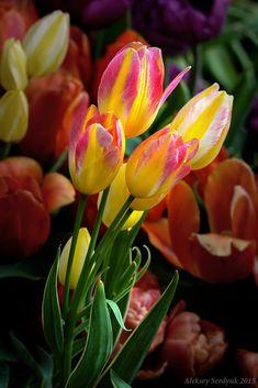 Tulipes <3 ***