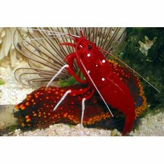 Fire Shrimp: The Fire Shrimp is aptly named for its blood-red body color with white spots that may cover the entire body or just the carapace. This particular shrimp is a cleaner and will remove necrotic tissue and parasites from fish. While a peaceful aquarium inhabitant, it will chase away other shrimp and can be territorial. Provide plenty of hiding spots.