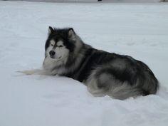 Inuit dog (Direwolf)... My next dog