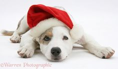 Border Collie-cross pup wearing a Santa hat