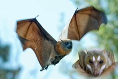 Flying Fox Bat | Save Our Green