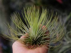 26 Types of Air Plants That Are Most Beautiful | Best Air Plant Varieties
