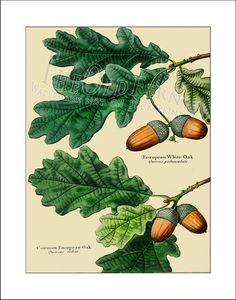 European Oak Vintage Leaf Print Antique Maple by TheOldFern, $12.00