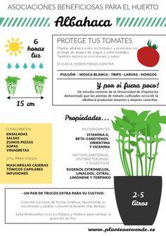 La albahaca es una planta extremadamente aromática que proviene originalmente de Asia tropical. Resulta muy apreciada en la cocina mediterránea, donde se combina especialmente con el tomate en ensaladas y…