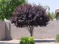Purple Leaf Plum (Prunus cerasifera)                                              Prunus cerasifera