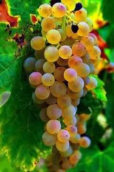 Sun ripening grapes