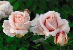 Marchioness Of Londonderry   Hybrid Perpetual, 1893. Zones 5-9. Antique Rose Emporium