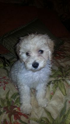 My teddy bear Schnoodle named Romeo.  He came from Hope Springs Doodles In South Alabama.  He is the best little puppy.