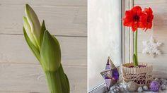 Rýchlené zornice potešia veľkými kvetmi už v decembri. Nezmýľte si ich však s amarylkami, ktoré sa pestujú úplne ináč.
