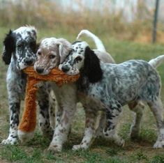 99 Best English Setter Dog Names – The Paws Cute Puppies, Cute Dogs, Dogs And Puppies, Doggies, Beautiful Dogs, Animals Beautiful, Beautiful Dog Breeds, English Setter Puppies, English Dogs