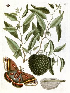Custard Apple tree with Eyed Hawk-moth | Natural History of Carolina, Florida and the Bahama Islands, vol. 2, (1743)